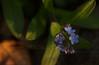 Forget-me-nots or Myosotis scorpioides
