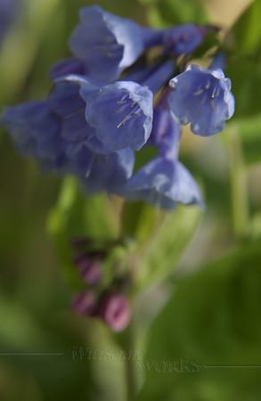 Virginia Bluebells  (Mertensia virginica) on May Day  - Quakertown, PA