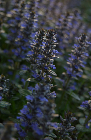 Backlit Ajuga