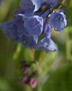 Virginia Bluebells  (Mertensia virginica) on May Day  - Quakertown, PA