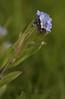 Forget-me-nots  (myosotis sylvatica)  - our backyard, Quakertown, PA
