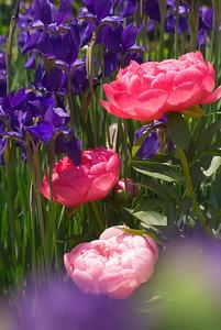 'Cythera' Peony with Siberian Iris