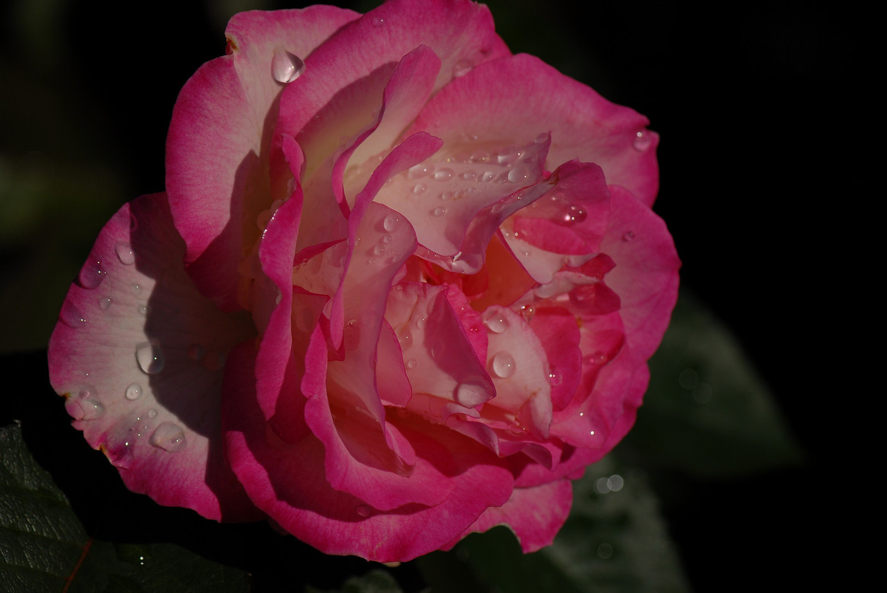 Rose - Morning Dew II