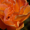 Rose - Sunburst II