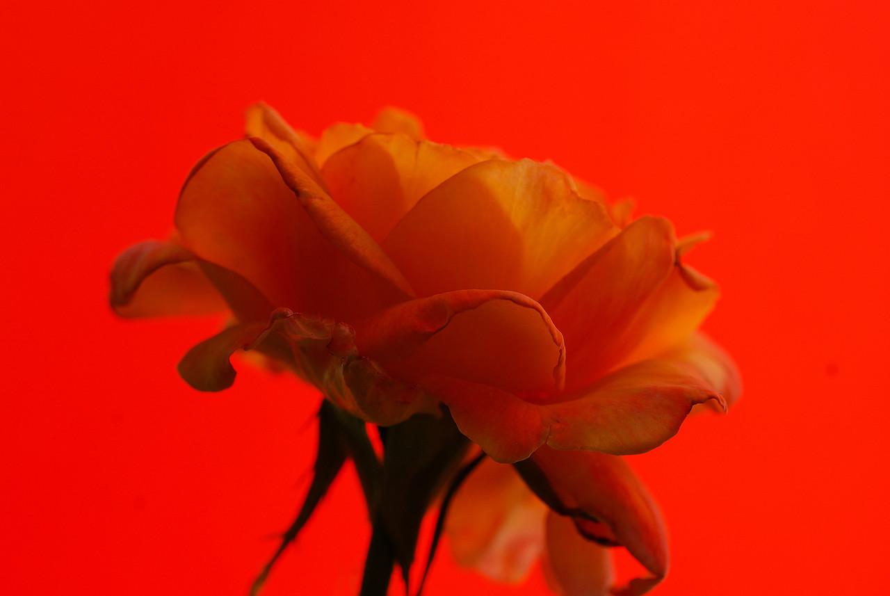 Rose - Fire & Nice