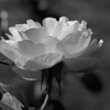 Rose - China B&W-Vivid