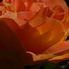 Rose - Triumph