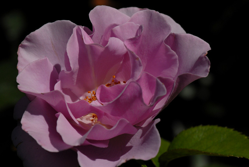 Rose - Elegance - Pink