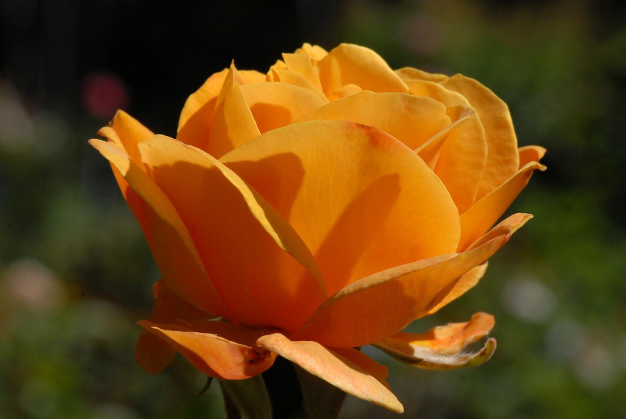 Rose - Sunny One