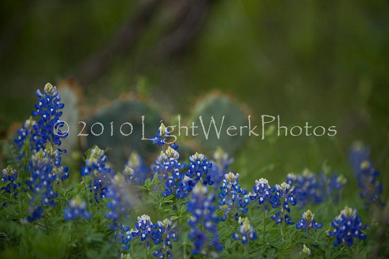 """""""Texas BlueBonnets"""""""