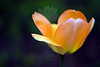 Flower pictured :: Tulip<br /> <br /> 041412_005553 ICC sRGB 16in x 24in pic