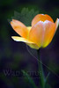 Flower pictured :: Tulip<br /> <br /> 041412_005554 ICC sRGB 16in x 24in pic
