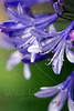Flower pictured :: Agapanthus<br /> <br /> 041412_005732 ICC sRGB 16in x 24in pic
