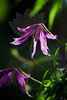 Flower pictured :: Clematis<br /> <br /> 041412_005823 ICC sRGB 16in x 24in pic