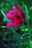 Flower pictured :: Ruffled Tulip<br /> <br /> 041412_005493 ICC sRGB 16in x 24in pic