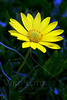 Sun By Moonlight<br /> <br /> Flower pictured :: Daisy<br /> <br /> Flower provided by :: Tagawa Gardens<br /> <br /> 040613_009835 ICC sRGB 16x24 pic