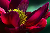 Flower pictured :: Peony<br /> <br /> Flower provided by :: Tagawa Gardens<br /> <br /> 060912_011036 ICC sRGB 16in x 24in pic