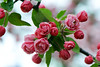 Flower pictured :: Crab Apple<br /> <br /> 041412_005516 ICC sRGB 16in x 24in pic