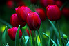 Tulip Dreams<br /> <br /> Flower pictured :: Tulip<br /> <br /> 041412_005487 ICC sRGB 16in x 24in pic