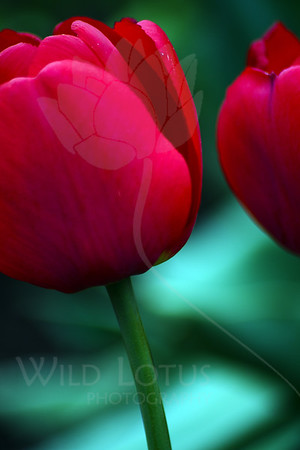 Queen of Hearts<br /> <br /> Flower pictured :: Tulip<br /> <br /> 041412_005628 ICC sRGB 16in x 24in pic