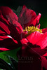 Flower pictured :: Peony<br /> <br /> Flower provided by :: Tagawa Gardens<br /> <br /> 060912_011065 ICC sRGB 16in x 24in pic