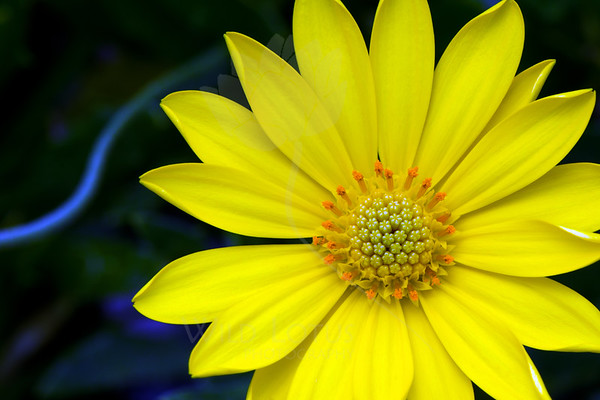 Sun And Blue River<br /> <br /> Flower pictured :: Daisy<br /> <br /> Flower provided by :: Tagawa Gardens<br /> <br /> 040613_009832 ICC sRGB 16x24 pic