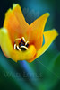 Sun on Green<br /> <br /> Flower pictured :: Tulip<br /> <br /> 041412_005582 ICC sRGB 16in x 24in pic