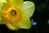 Flower pictured :: Daffodil<br /> <br /> 041412_005759 ICC sRGB 16in x 24in pic