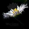 Flower pictured :: Daisy<br /> <br /> 072912_013772 ICC sRGB 12in x 12in pic