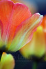 Flower pictured :: Tulip<br /> <br /> 041412_005603 ICC sRGB 16in x 24in pic
