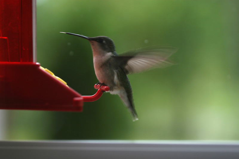 Who knew Hummingibirds have tongues....?