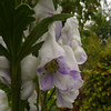 Aconitum 'Cloudy' close-up
