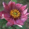 Anemone hupehensis 'Eugenie'