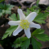 Anemone sylvestris 'alba'