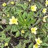 Anemone x lipsiensis 'Pallida'