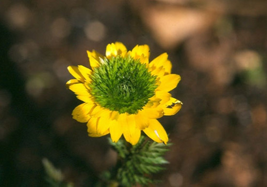 Adonis amurensis 'FlorePleno' close-up
