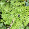 Arum maculatum 'Pleddel'