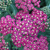 Achillea 'Rose Madder'