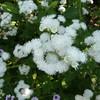 Ageratum houstonianum 'Weisser Schnitt' 3