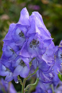 Aconitum carmichaelii 'Kelmscott'