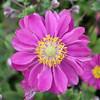 Anemone hupehensis 'Pamina'