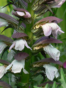 Acanthus 'Summer Beauty'