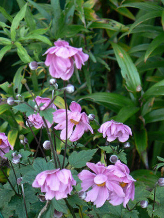 Anemone x hybrida 'Max Vogel'