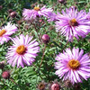 Aster 'Barr's Pink'