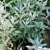 Artemisia 'Silver Queen'