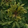 Anemone nemorosa 'Virescens' close-up