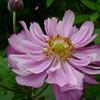 Anemone x hybrida 'Köningin Charlotte'
