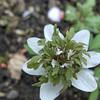 Anemone nemorosa 'Bracteata Pleniflora'