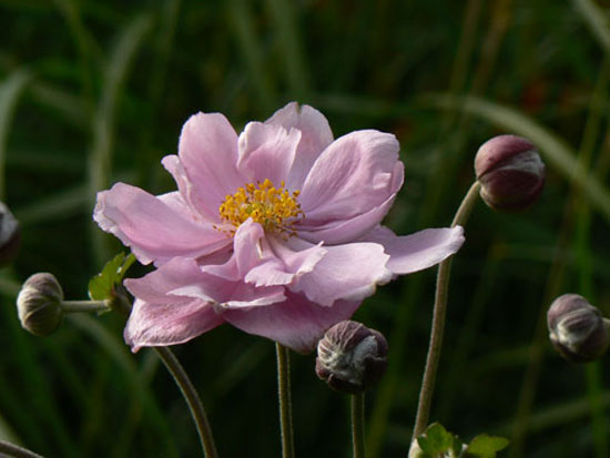 Anemone x hybrida 'Mont Rose'