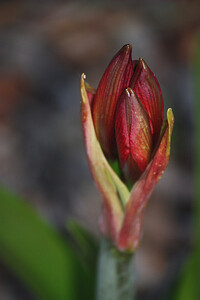 Pistachio Amaryllis